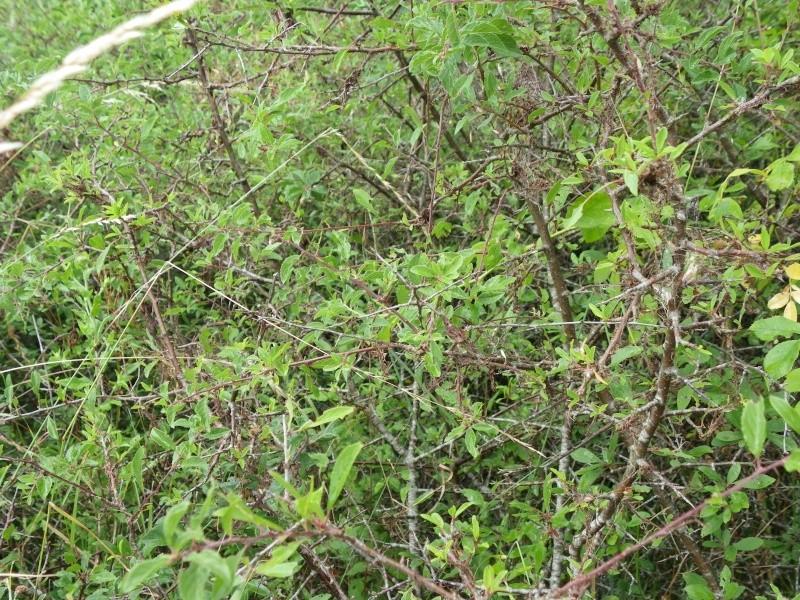 prunellier épine noire