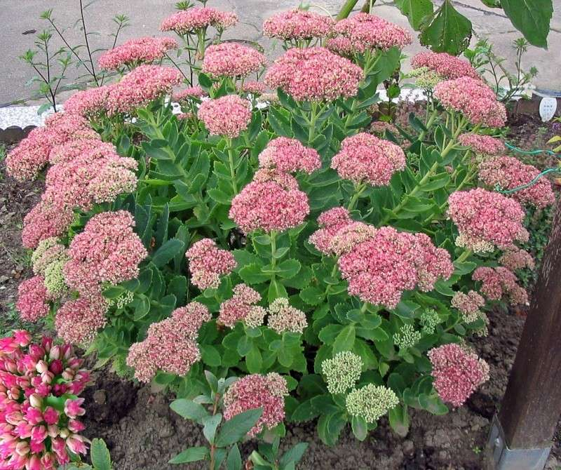 Седум, очиток цветы. Фото, выращивание, сорта, уход. Sedum