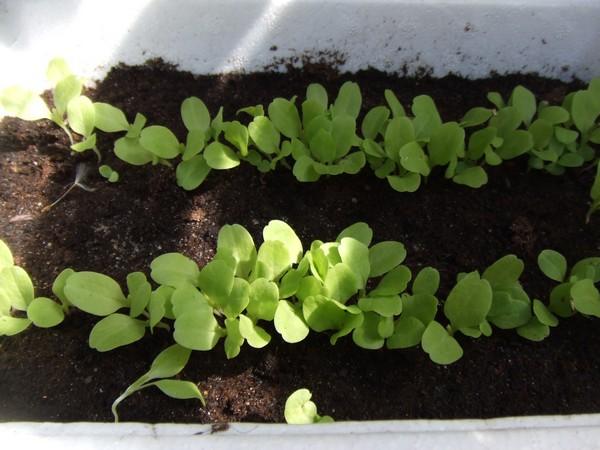 Ou en sont vos semis page 4 au jardin forum de jardinage - Quand repiquer les salades ...