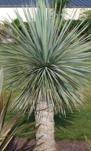 Le jardin de st ro page 2 for Yucca elephantipes exterieur