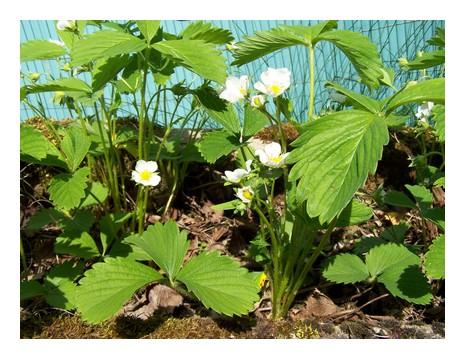 Astuce Eco'jardin : Insecticide Maison Naturel et Ecolo  dans ASTUCES ECO... fraisi11