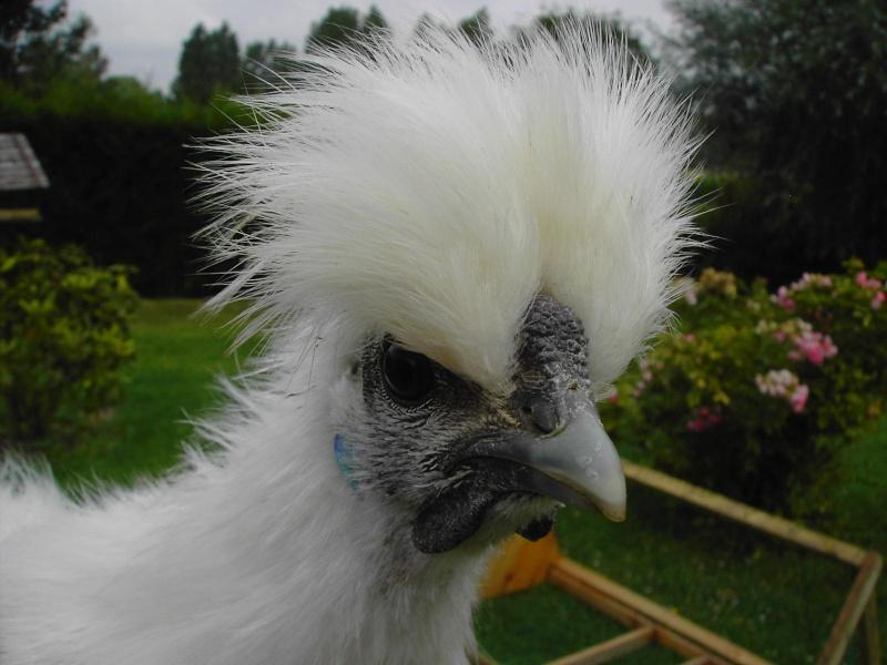 Poule ou coq negre soie - Image d une poule ...