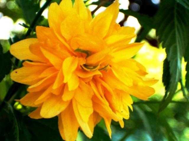 arbuste a fleurs jaunes printani res. Black Bedroom Furniture Sets. Home Design Ideas
