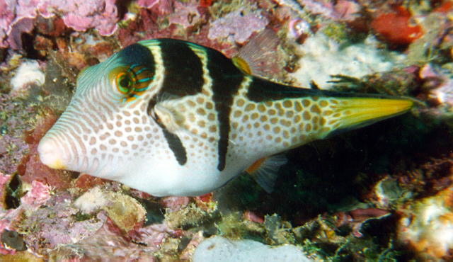 Valentini puffer for Puffer fish diet