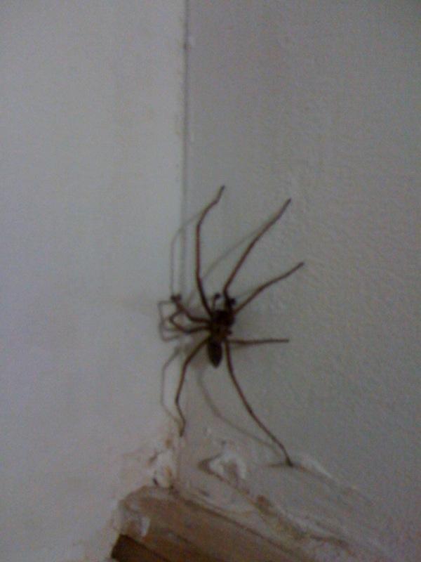 Cette araignee a mon avis tres commune dans les maisons en for Araigne sauteuse maison