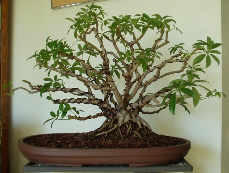 schefflera rh ibonsaiclub forumotion com Schefflera Tree Umbrella Plant Bonsai